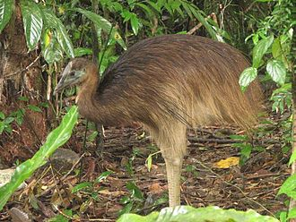 Queensland tropical rain forests - Young cassowary in the Daintree Rainforest