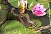 Jeune couleuvre Natrix natrix.jpg