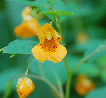 Jewel Weed Impatiens capensis Flower 1950px.jpg