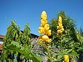 Jf2235Yellow Flowers Nicolas Philippinesfvf 01.JPG