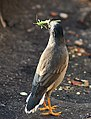 Jungle Myna- Picked up a Grasshopper I2 IMG 5010.jpg