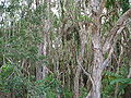 Jungle on Straddie.jpg