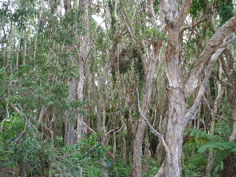 File:Jungle on Straddie.jpg