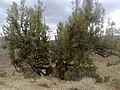 Juniper Tree - panoramio.jpg