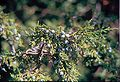 Juniperus scopulorum branch.jpg