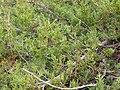 Juniperus scopulorum x horizontalis (2).jpg