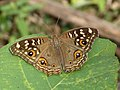 Junonia lemonias at Kadavoor.jpg
