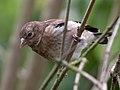 Juvenile goldfinch (5891845964).jpg