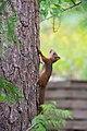 Juvenile squirrel climbing Pinus sylvestris, Hyvinkää, Finland, 2017-08-01 144830.jpg
