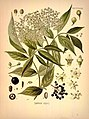 Köhler's Medizinal-Pflanzen in naturgetreuen Abbildungen mit kurz erläuterndem Texte (Plate 46) (7118322797).jpg