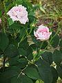 Königin von Dänemark Rosa alba Juni 2012.JPG