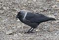 Küçük karga (Corvus monedula), 01.jpg