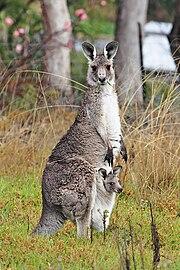 Q Significa Kangaroo Marsupio - Wikipedia, ...