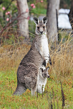 File photo of an Eastern Gray Kangaroo, with a joey (baby kangaroo) in her pouch. Image: Fir0002/Flagstaffotos.