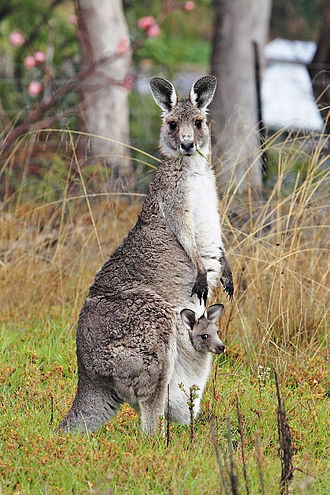Kangaroo - Female Eastern grey kangaroo with joey (baby) in pouch