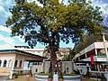 Katipunan Tree, Novaliches, Quezon City.jpg
