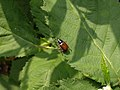 Katwijk - Phyllopertha horticola v3.jpg
