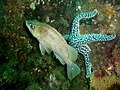 Kelp rockfish and Giant spined star (9682428490).jpg
