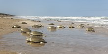 Thousands of Kemp's ridley females arriving at the beaches of Rancho Nuevo in 2017 to lay their eggs.
