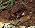 King cricket (Anostostomatidae), probably Nasidius sp. (4086834793).jpg