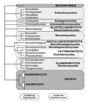 Zoopagomycotina - Currently accepted phyla and subphyla in kingdom Fungi