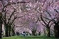 Kirschblüten, Schwetzinger Schlossgarten - Flickr - targut.jpg