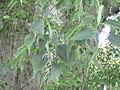 Košćela 8 (Celtis australis).JPG