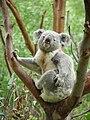 Koala Perth Zoo.jpg