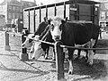 Koeien op een veemarkt in Amsterdam, Bestanddeelnr 189-0289.jpg