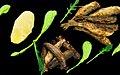 Kogte mandelkartofler med aertepure og lojfisk i to variationer- Den ene slags er roget og marineret og fas pa dase. Den anden er ra, vendt i mel og pandestegt med sprod skorpe. Pyntet med rucolablade.Tillagat av Kim Palhus.jpg