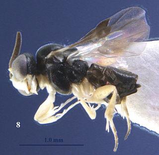 <i>Kollasmosoma sentum</i> species of insect