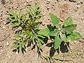 Korina 2015-08-01 Ambrosia artemisiifolia 2.jpg