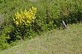Korina 2017-05-18 Laburnum anagyroides 4.jpg