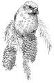 Kruisbek Loxia pytyopsittacus Jos Zwarts 2.tif