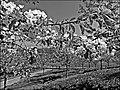 Läufelfingen-cherry blossoms - panoramio.jpg