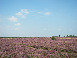 Geest - The Osterheide, a heath landscape on geest near Schneverdingen on the Lüneburg Heath, Germany