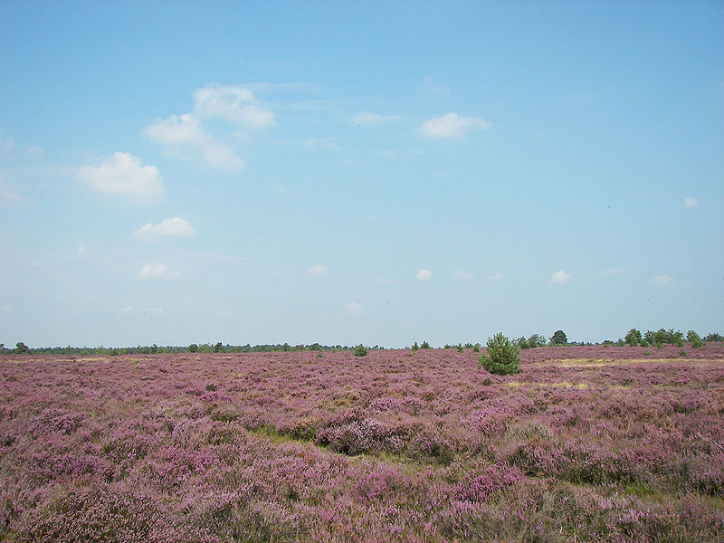 The Lüneburg Heath.  Exploring Germany's Old Salt Road Wikimedia Commons: Willow