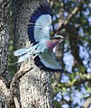 LILAC BREASTED ROLLER IN FLIGHT.jpg