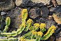 La Palma - Los Llanos de Aridane - Las Manchas - Plaza de Glorieta - Euphorbia pseudocactus 01 ies.jpg