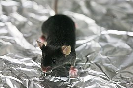 Lab mouse mg 3204.jpg