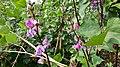 Lablab purpureus plant & flowers 01.jpg