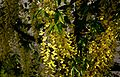 Laburnum-watereri-flowers.JPG