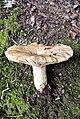 Lactarius acerrimus Britzelm 416755.jpg