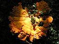 Laetiporus sulphureus 040829A 025.jpg