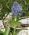 Lagotis glauca (bud and flower).JPG