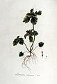 Lamium incisum — Flora Batava — Volume v6.jpg