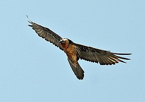 The Life of Birds - The lammergeier or bearded vulture (Gypaetus barbatus) feeds mainly on bone marrow, dropping bones from great heights to crack them.
