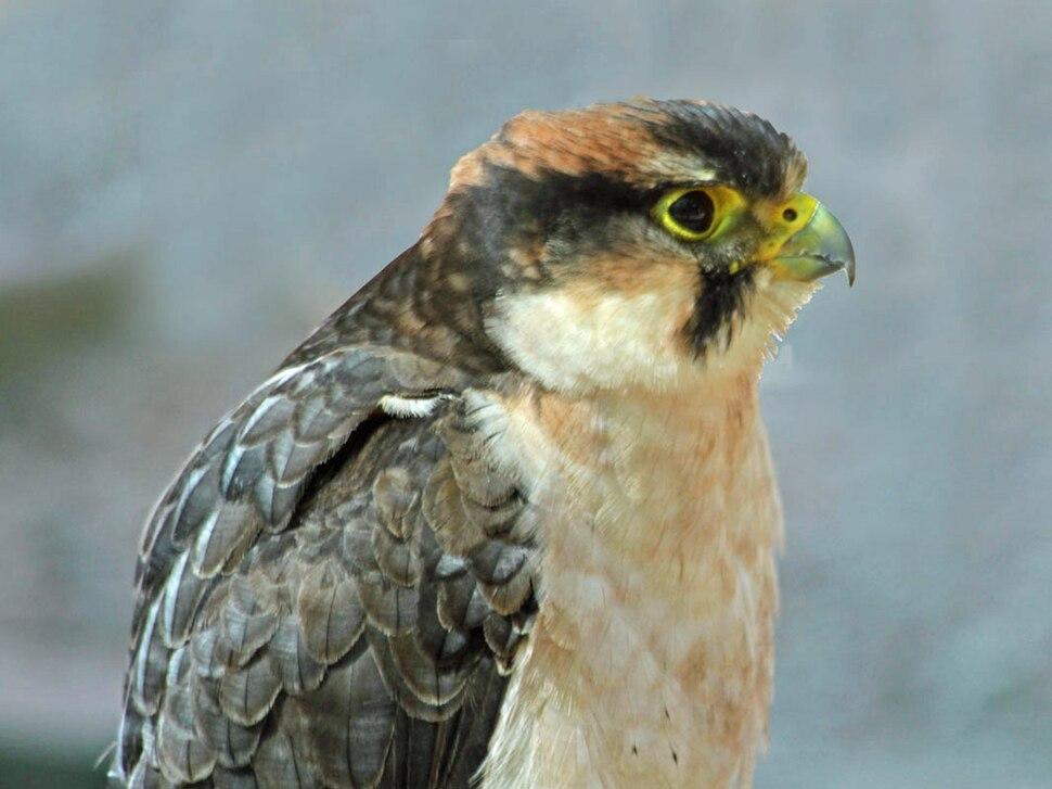 Lanner Falcon RWD