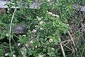 Lantana camara plant NC1.jpg