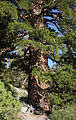 Large Pinus monticola Lake George.jpg